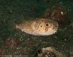 BD-090928-Lembeh-9284961-Diodon-holocanthus.-Linnaeus.-1758-[Longspined-porcupinefish.-Brunfläckig-igelkottfisk].jpg